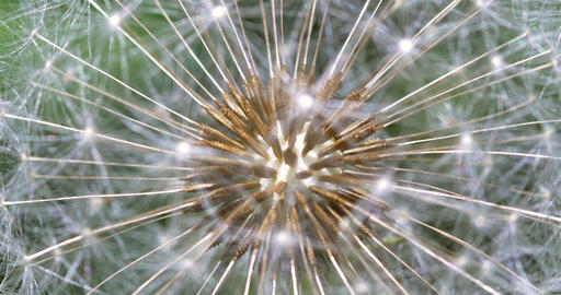Dandelion Interior Close Up Of Seeds stock footage