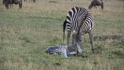A Zebra Giving Birth stock footage