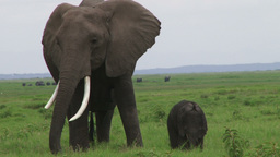 Mother Elephant With Child stock footage