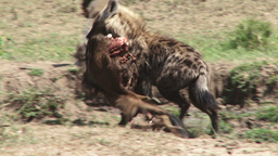 A juvenile hyena takes away food to hide Footage