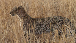 Beautiful Patterns Of A Leopard stock footage