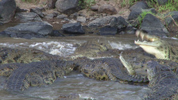 Crocodile Rolling Round To Cut Off Meat From Dead Wildebeest stock footage