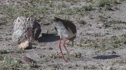 Crown Plover Eating Ants stock footage