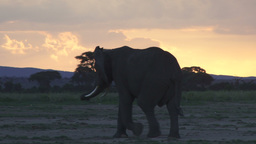 Elephant With The Colors Of The Setting Sun stock footage