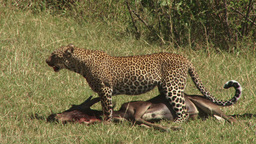 Leopard Poses To Rest While Dragging A Kill stock footage