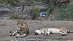 Lion Couple Tired And Worn Out Sitting By The River stock footage