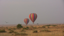 Lions Following A Hot Air Balloon stock footage