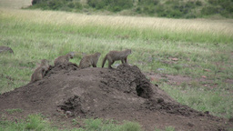 Mongoose In A Line On Top Of An Anthill stock footage