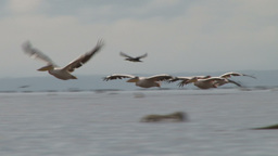 Pelicans Fly Low Above The Water In A Lake stock footage