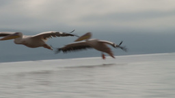 Pelicans Landing In A Lake stock footage