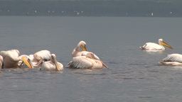 Pelicans Splashing Water With Their Very Large Wings stock footage