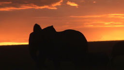 Silhouettes Of Elephants Passing Before Sunset stock footage
