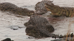 Two Crocodiles Stealing A Meal From Fighting Crocs stock footage
