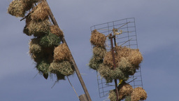Weaver Birds Colonising TV Antenas In A Village stock footage