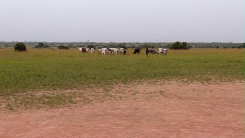 Cows In A Field In Africa stock footage