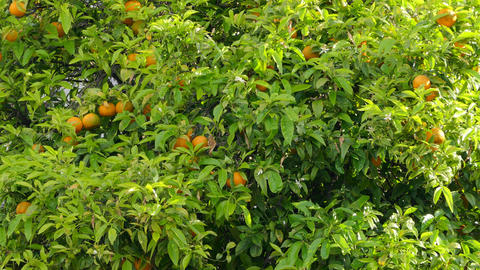 The Tree On Which Grow Oranges stock footage