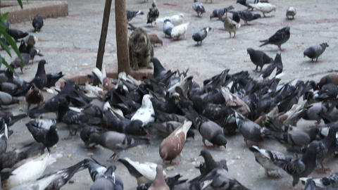 Pigeons Birds And Cat stock footage