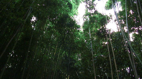 Tall green tropical trees in Hawaii Footage