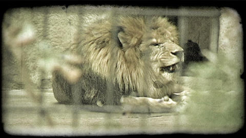 Lion yawns and eats in zoo. Vintage stylized video clip Footage