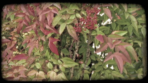 Close Up Of Berry Bush With Leaves. Vintage Stylized Video Clip stock footage