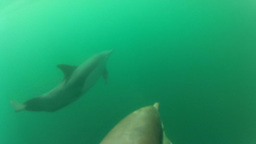 Underwater Dolphins Close Up stock footage