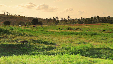 Green African Landscape With Goats In The Landscape stock footage