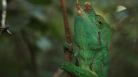Up Close View Of Chameleon On A Branch In The Jungle stock footage