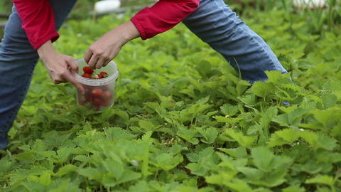 A Girl Picks Strawberries stock footage