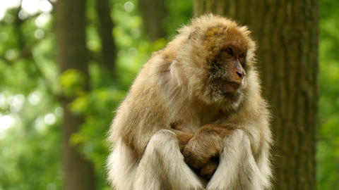 Macaque Monkey In Wood Closeup stock footage