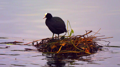 Coot In Its Nest On Water stock footage
