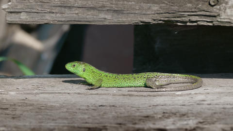 Sand Lizard Rest In Nature stock footage