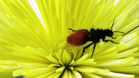 Magnificent Velvet Ant crawling on a yellow flower Footage