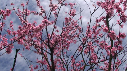 Peach Tree Blossoms Very Delicate Flowers stock footage