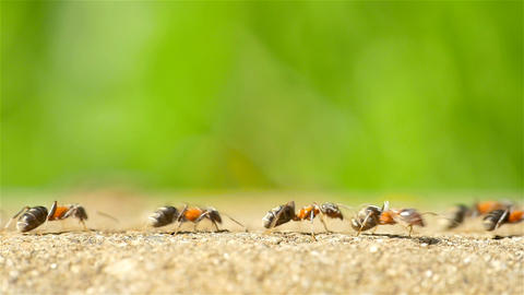 Ants Marching On Forest Path stock footage