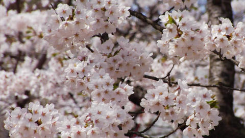 Sakura Close Up stock footage