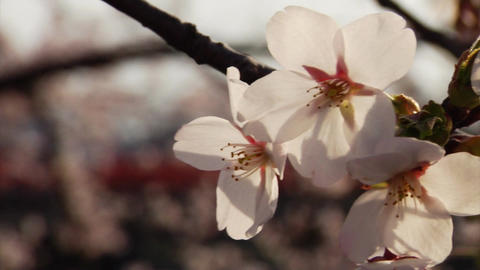 Cherry Blossoms Focus stock footage