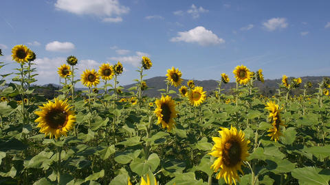 Sunflower Plantation In A Breez stock footage