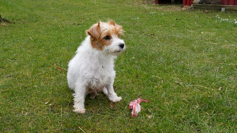 Jack Russell terrier with a bone - out on a lawn Footage