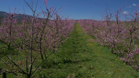 Aerial - Rows Of Blooming Peach Trees stock footage