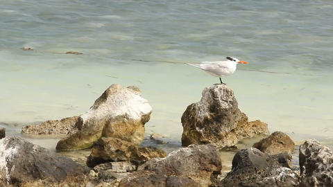 Seagull On A Tropical Shoreline stock footage