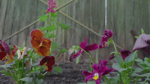 Multi-colored Flowers Of Pansies stock footage