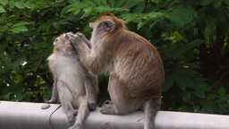 Long-tailed Macaque Monkey Adult Grooming Fur Of Juvenile 4k stock footage