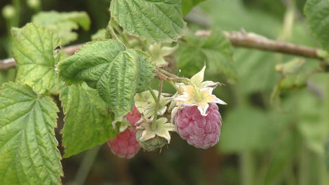 Raspberries in the summer garden Footage