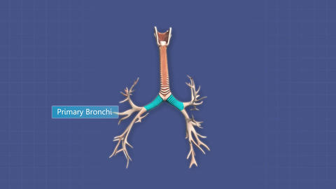 A pan of the human lungs, trachea and bronchi Animation