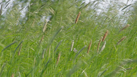 Meadow Grass In The Wind stock footage