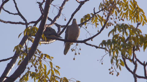 Two Birds On A Autumn Tree stock footage