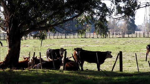 Cattle At Rest In Evening Light stock footage