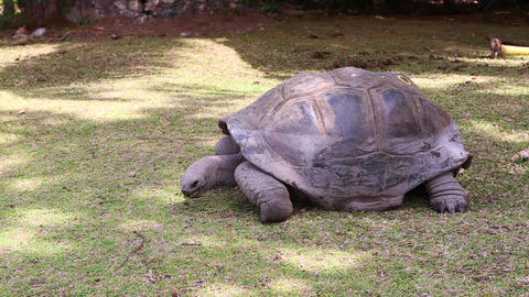 Giant Tortoise Eating Grass At Curieuse Island, Seychelles stock footage
