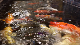 Fish Colored Carps Koi Swim In The Pool stock footage
