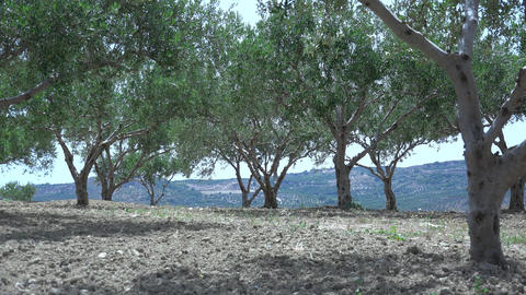 Olive Trees In The Mountains. 4K stock footage
